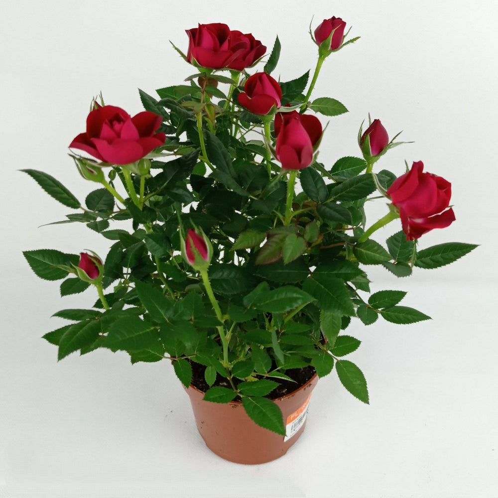 Pot Rosa (Imported) - Red