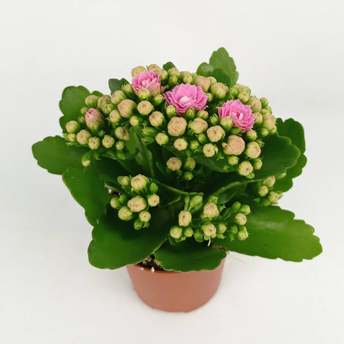 Pot Kalanchoe (Imported) - Light Pink