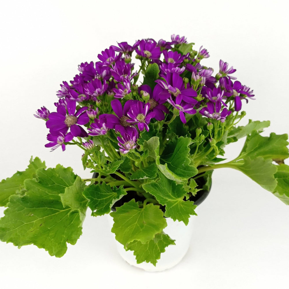 Pot Cineraria (Imported) - Purple