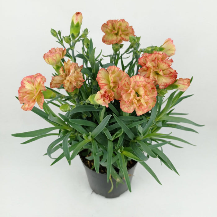 Pot Carnation (Imported) - 2 Tone Green Red