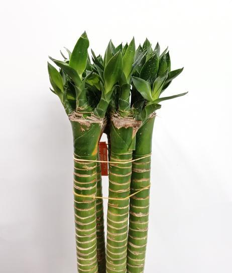 Dragon Bamboo (Local) - 40 CM