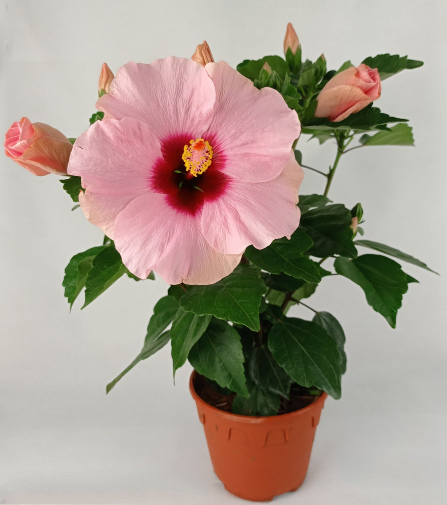 Pot Hibiscus (Local) - Light Pink