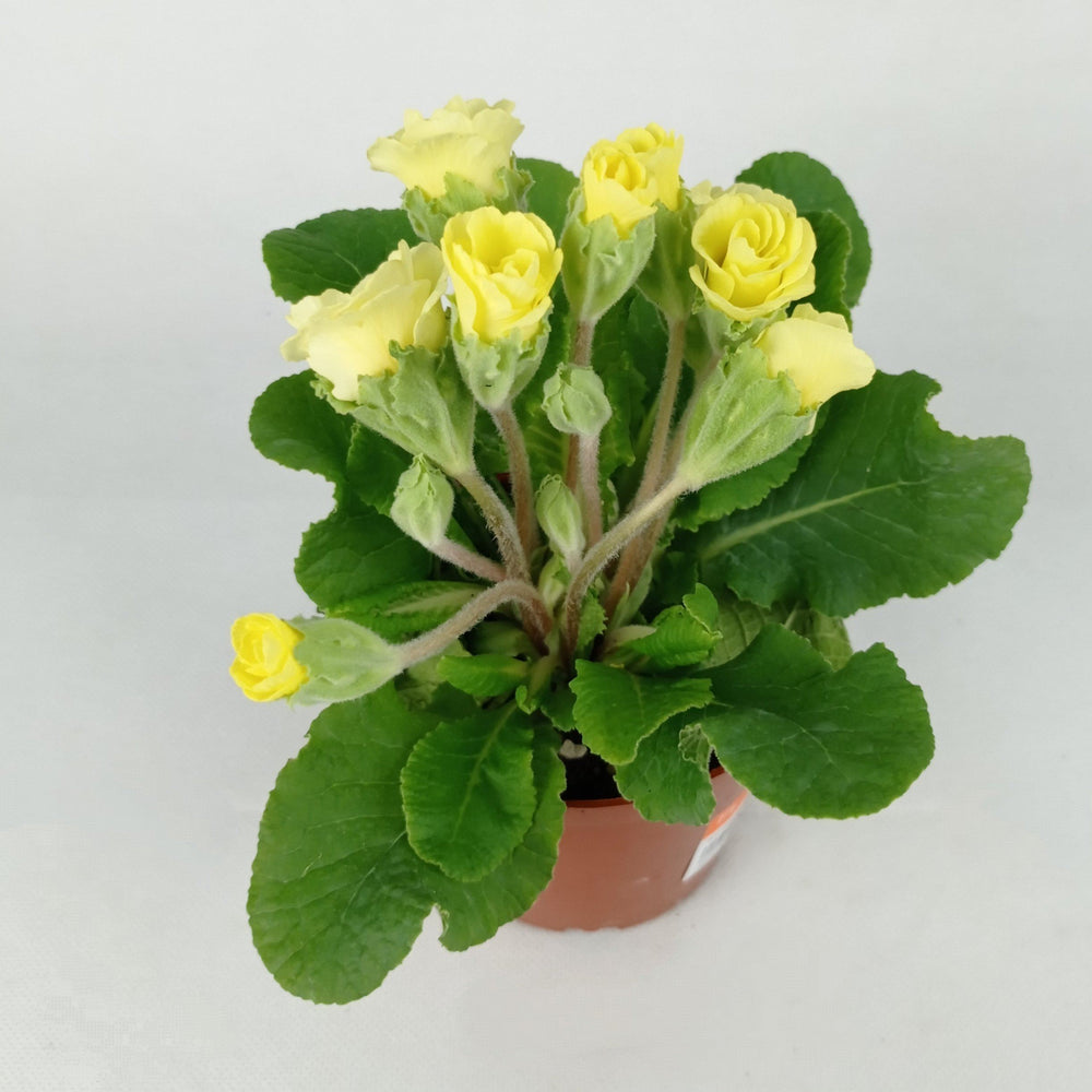 Pot Primula Malacoides (Imported) - Yellow