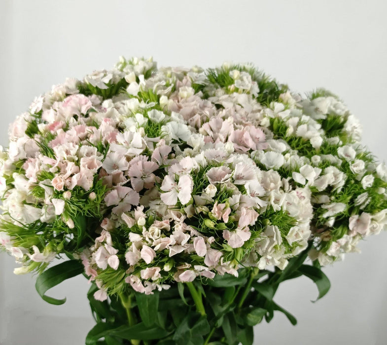 Sweet William (Imported) - Mix