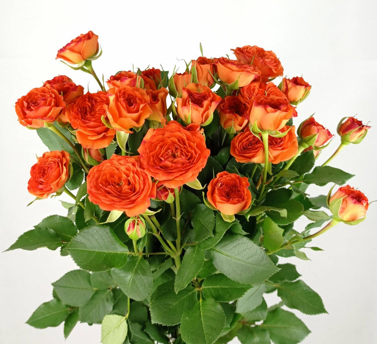 Spray Rose (Imported) - Orange