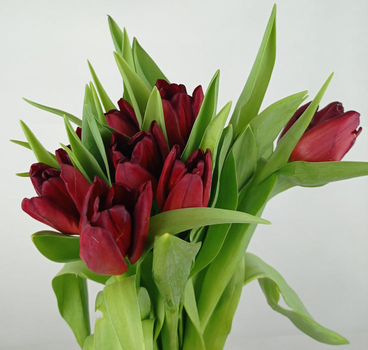 Tulip (Imported) - Dark Red