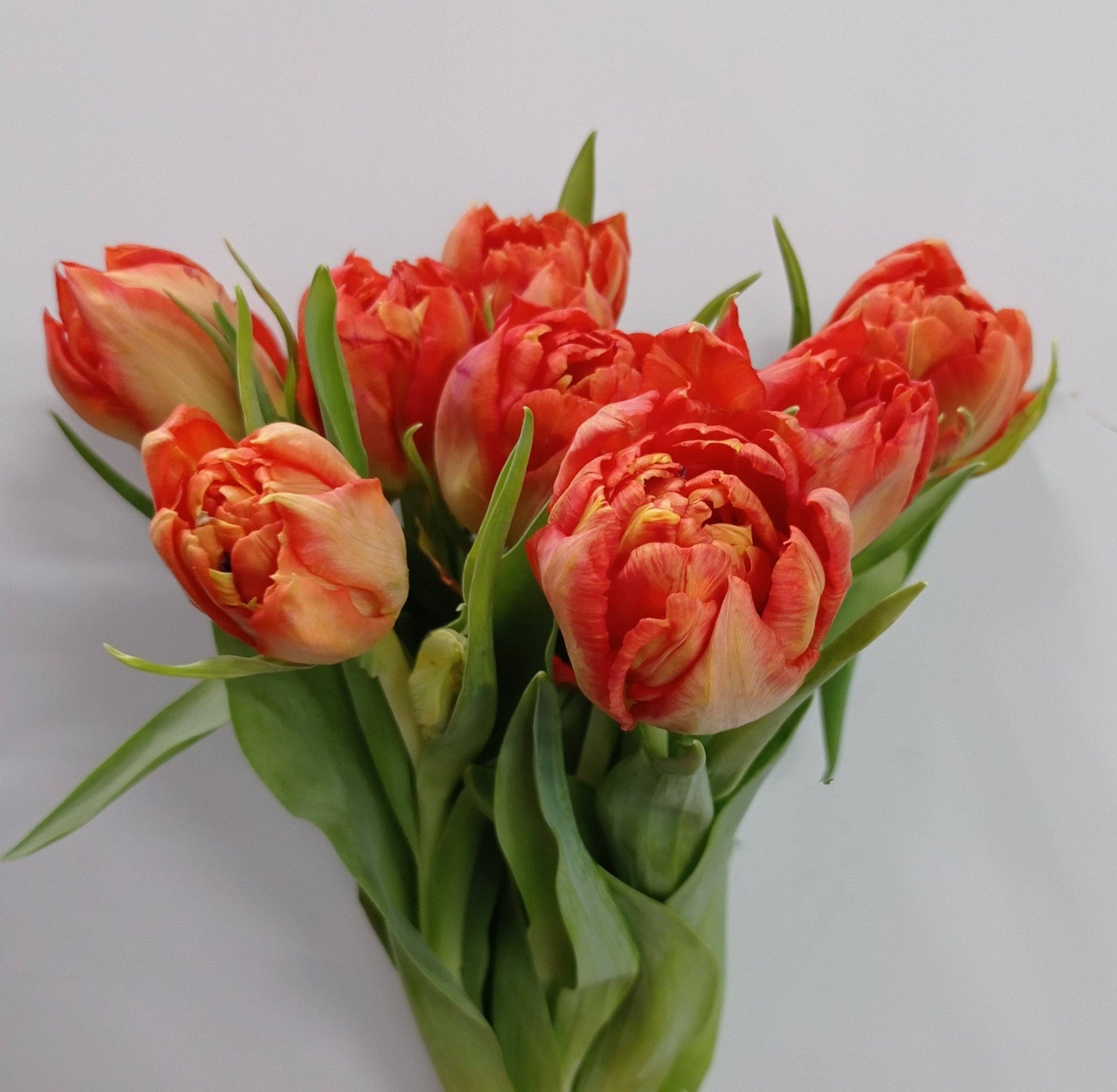 Tulip Double Petal (Imported) -  Orange