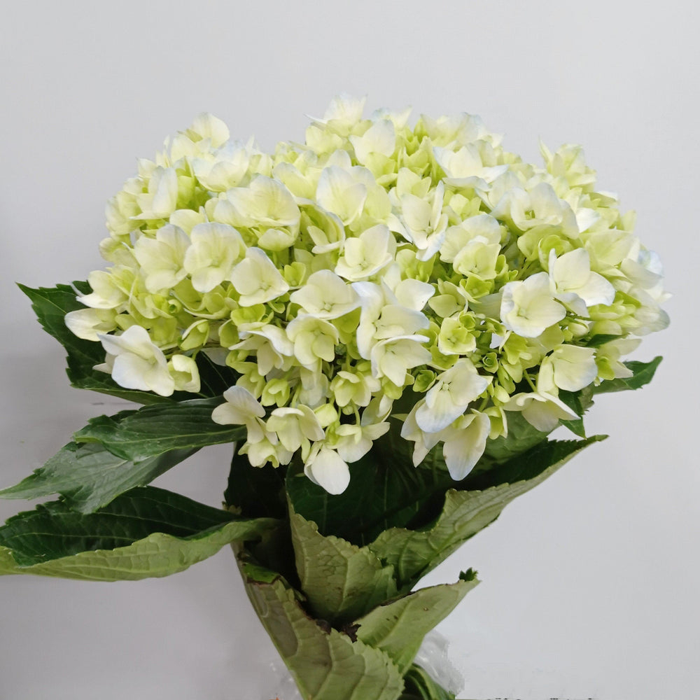 Hydrangea (Imported) - Green
