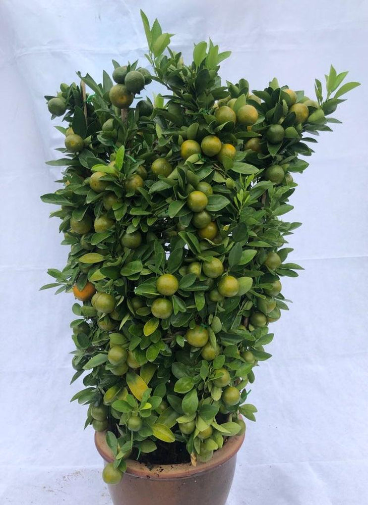 Pot Lime Tree (3-3.5 feet) No.2