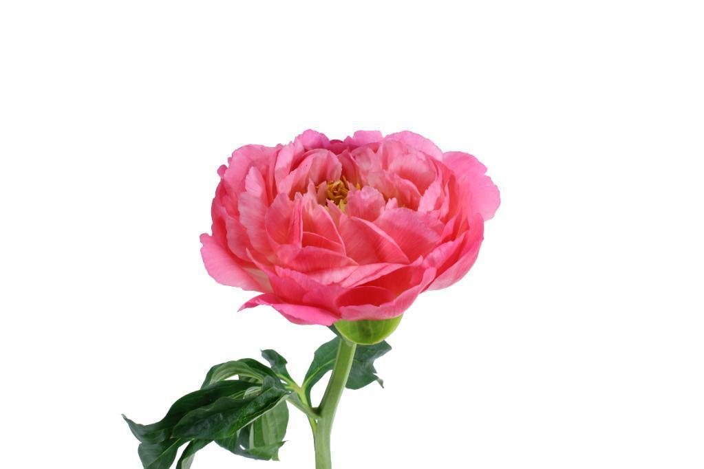 Peony (Imported) - Pink