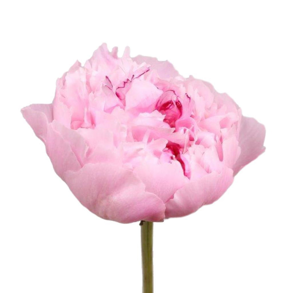 Peony (Imported) - Light Pink