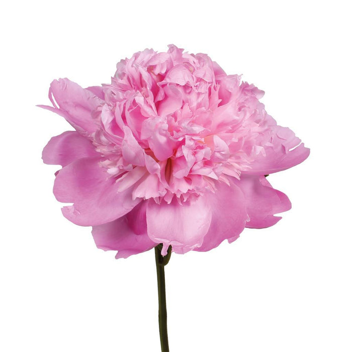 Peony (Imported) - Sweet Pink