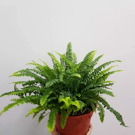 2 Pot Boston Fern P150