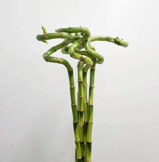 Curly Bamboo - 80 CM