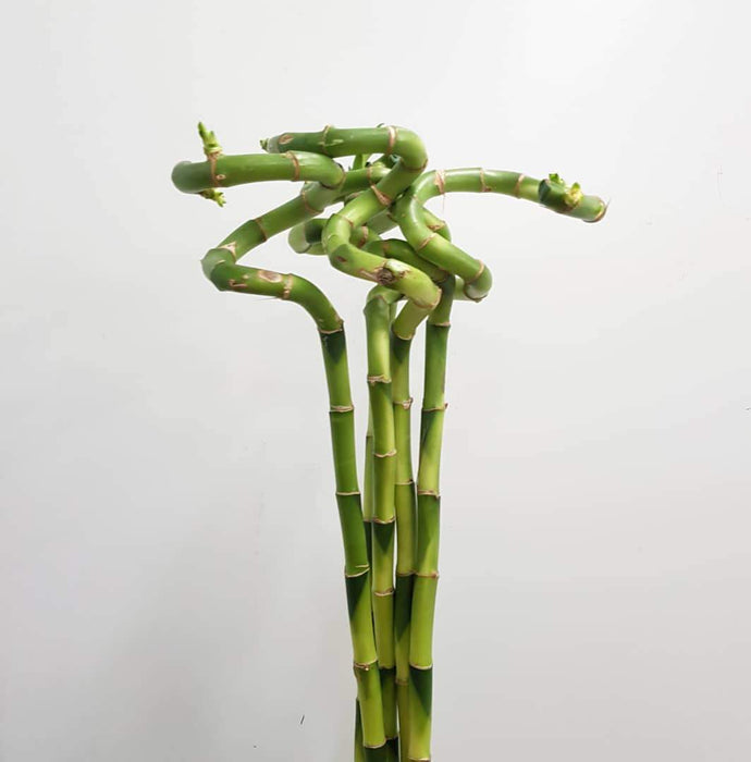 Curly Bamboo - 60 CM