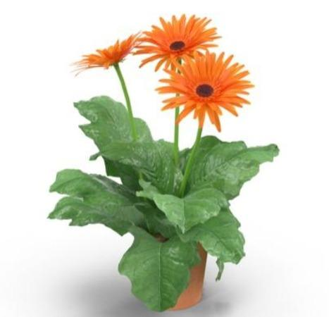 2 Pot Daisy (Local) - Orange