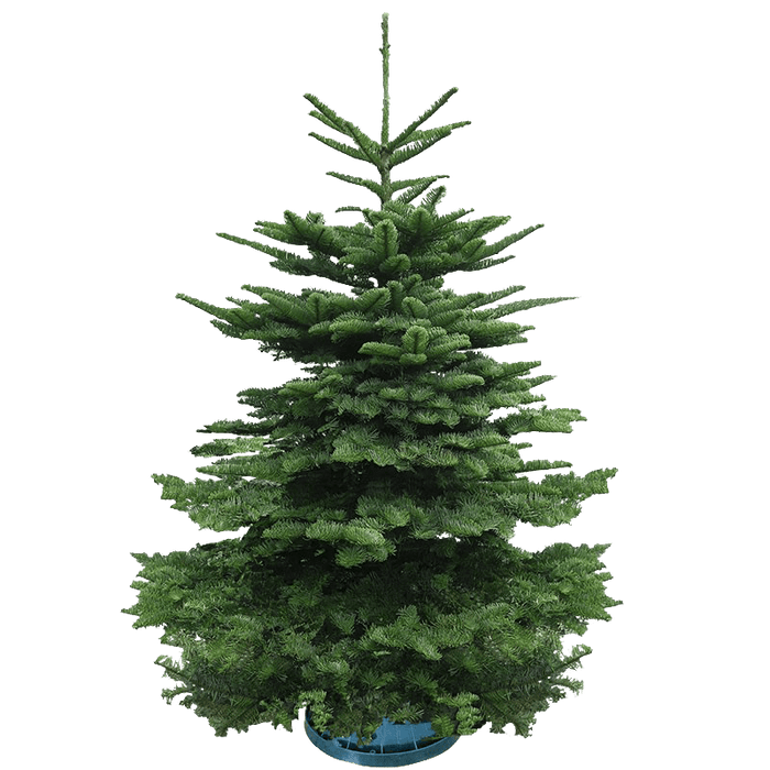 Real Christmas Tree - 7/8 Feet