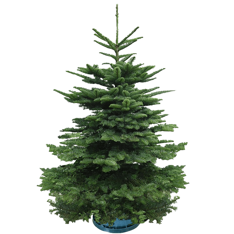 Real Christmas Tree - 4/5 Feet