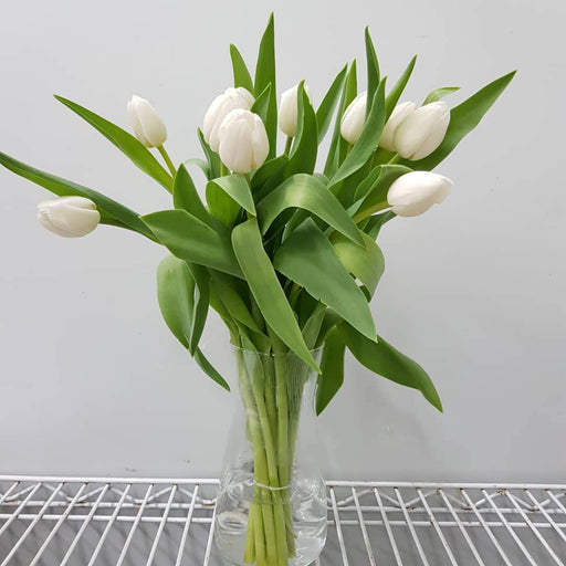 Tulip in Vase - White