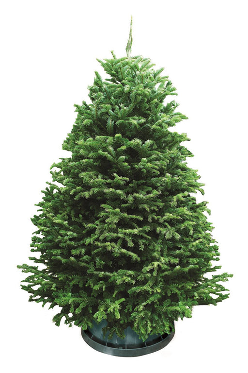 Live Christmas Tree Malaysia Order Online Home Delivery