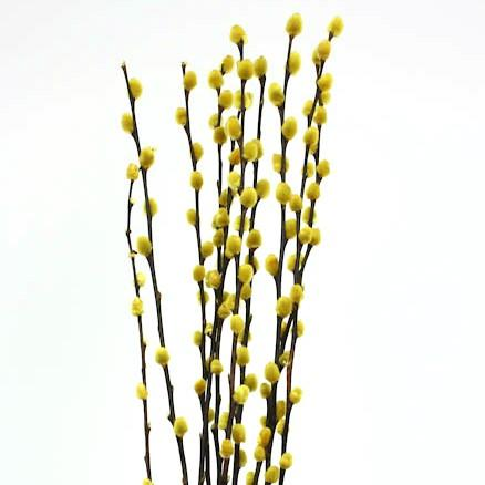 Pussy Willow - Yellow