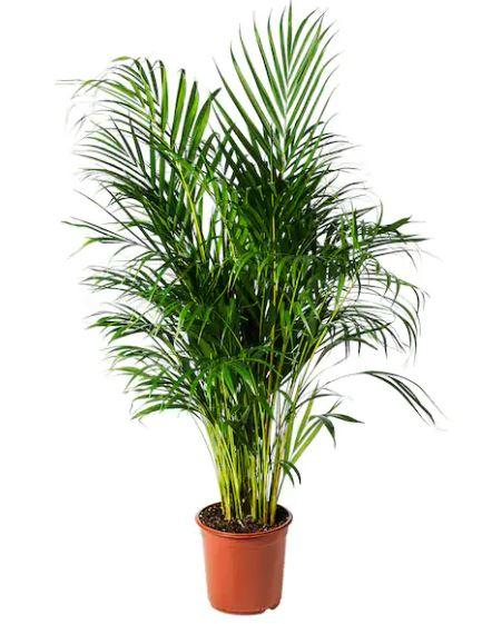 Pot Yellow Palm 100/120