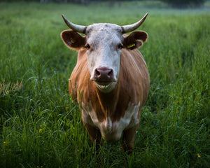 Why Grass-Fed, Grass-Finished Beef Matters