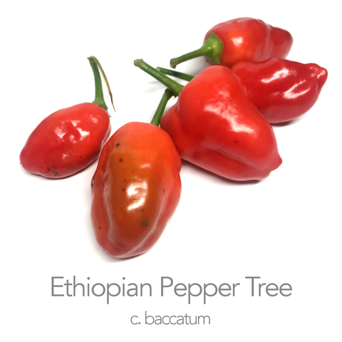 Ethiopian Pepper Tree Chilli Seeds (c.baccatum)