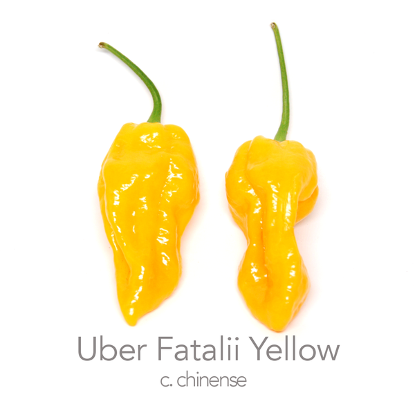 Uber Fatalii Yellow Chilli Seeds (c.chinense)