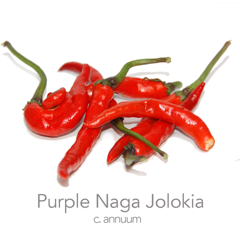 Purple Naga Jolokia Chilli Seeds (c.annuum)