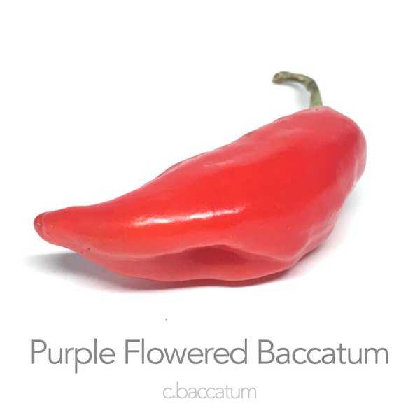 Purple Flowered Baccatum Chilli Seeds (c.baccatum)