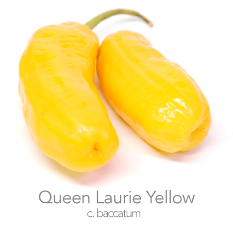 Queen Laurie Yellow Chilli Seeds (c.baccatum)