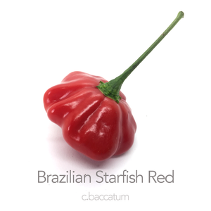 Brazilian Starfish Red (PI 439368) Chilli Seeds (c.baccatum)