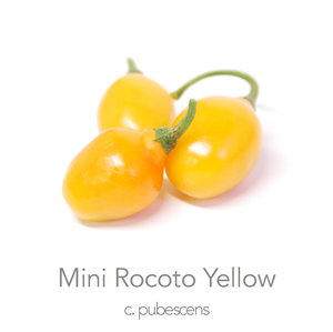 Mini Rocoto Yellow Chilli Seeds (PI 387838)(c.pubescens)