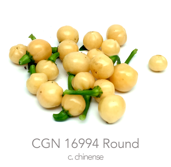 CGN 16994 Chilli Seeds (c.chinense)