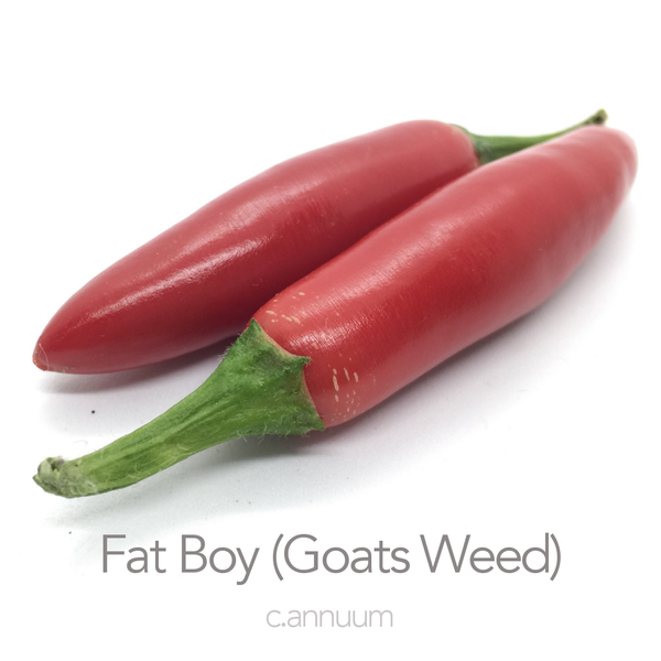 Fat Boy (Goats Weed) Chilli Seeds (c.annuum)
