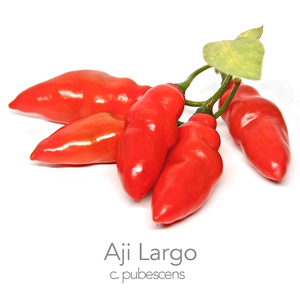 Aji Largo Chilli Seeds (CAP 1026)  (c.pubescens)