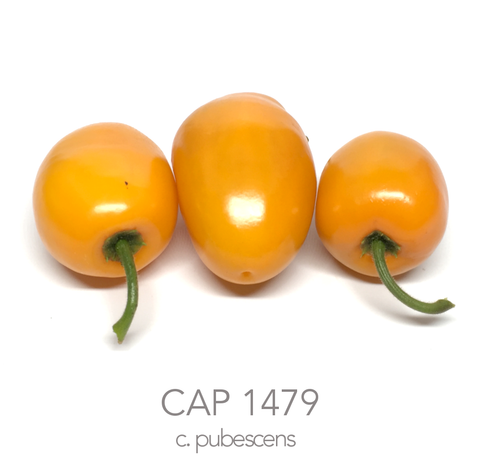 CAP 1479 Chilli Seeds (c.pubescens)