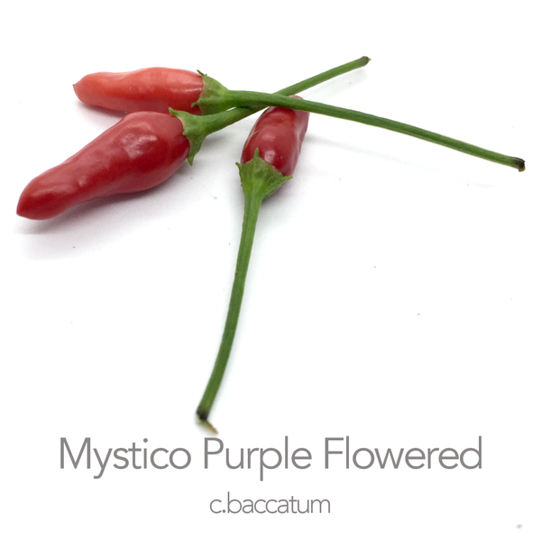 Mystico (Long) Purple Flowered F3 Chilli Seeds (c.baccatum)