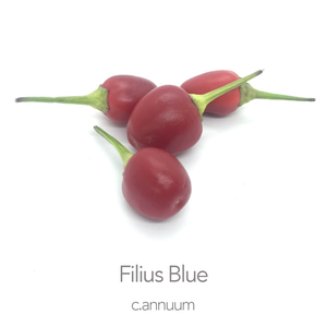 Filius Blue Chilli Seeds (c.annuum)