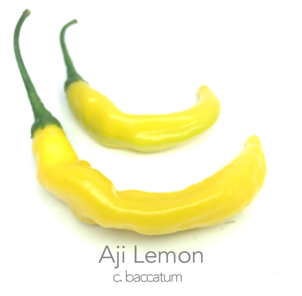 Aji Lemon Chilli Seeds (PI 315024) (c.baccatum)