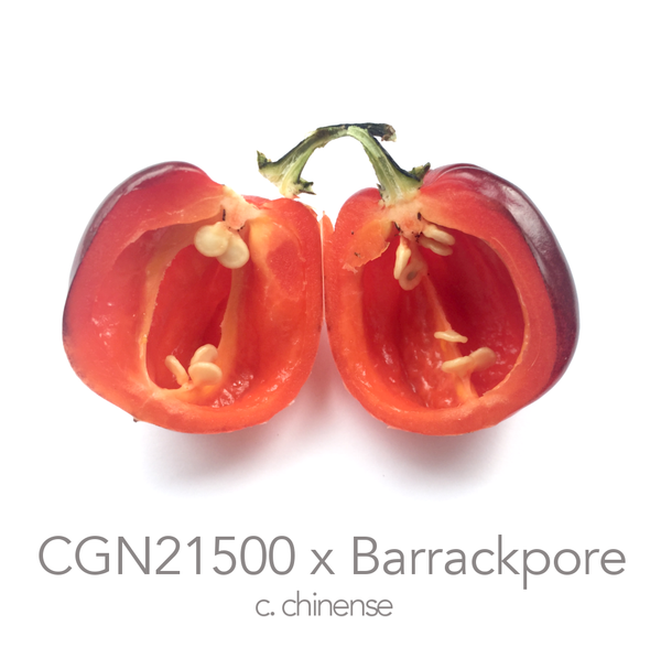 CGN 21500 x 7 Pot Barrackpore Chilli Seeds (c.chinense)