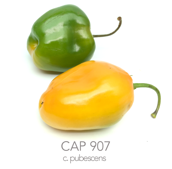 CAP 907 Rocoto Chilli Seeds (c.pubescens)