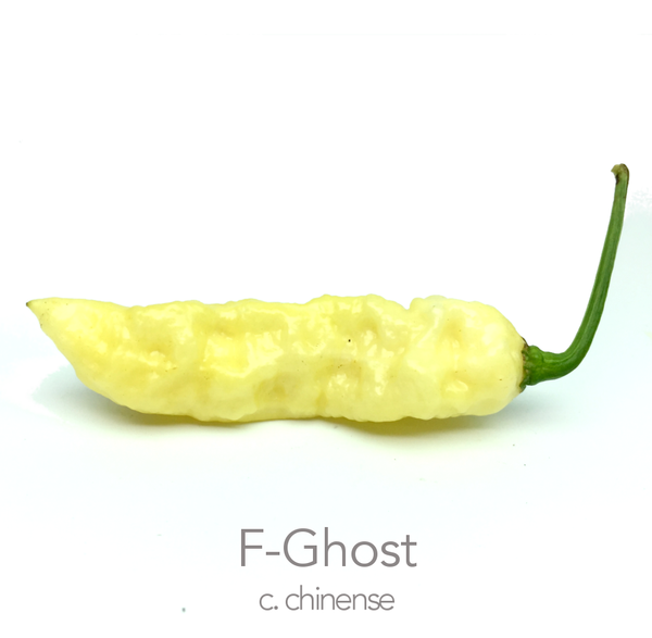 F-Ghost Chilli Seeds (c.chinense)