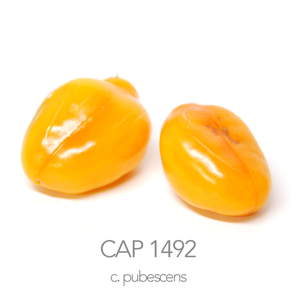 CAP 1492 Rocoto Cristobal Colombo Chilli Seeds (c.pubescens)