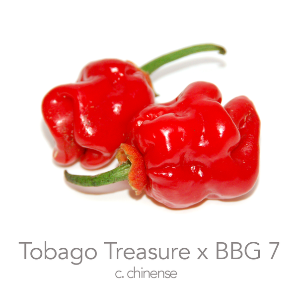 Tobago Treasure x Bubblegum 7 Pot Chilli Seeds (c.chinense)