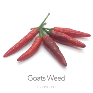 Goats Weed Chilli Seeds (c.annuum)