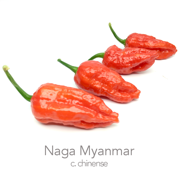 Naga Myanmar Chilli Seeds (c.chinense)