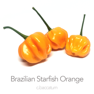 Brazilian Starfish Orange Chilli Seeds (c.baccatum)