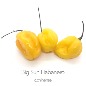 Big Sun Habanero Chilli Seeds (c.chinense)
